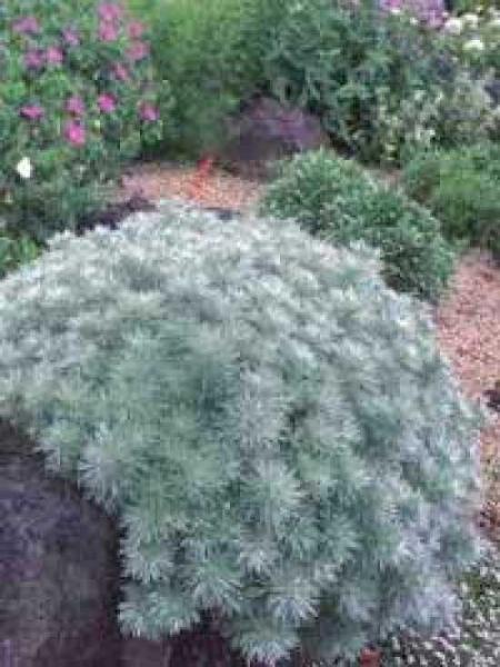 Artemisia schmidtiana 'Nana' / Zwergige Garten-Silber-Raute