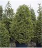 Weißbunte Stechpalme 'Argentea Marginata' / Ilex aquifolium 'Argentea Marginata'