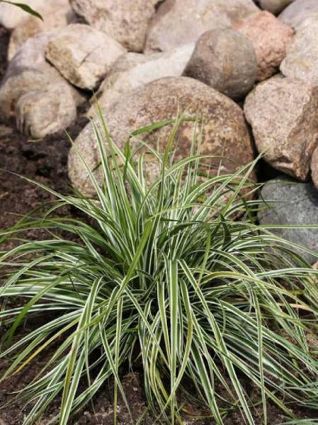 Carex oshimensis 'Everest'® / Gartensegge 'Everest'