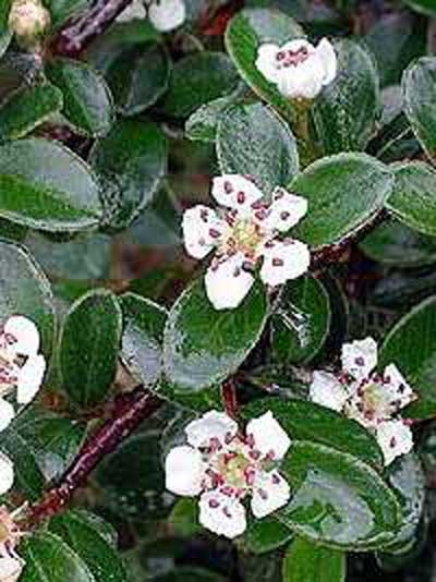 Cotoneaster dammeri 'Coral Beauty' / Teppich-Zwergmispel 'Coral Beauty'