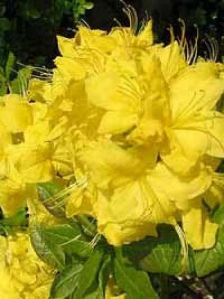 Azalea luteum 'Anneke' (Knap-Hill) / Laubabwerfende Azalee 'Anneke'