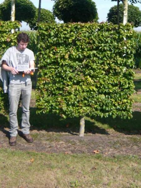 Parrotia persica / Eisenholzbaum, Parrotie 'Boden-Spalier' H:150 B:150 T:20 (Stamm 50 cm)