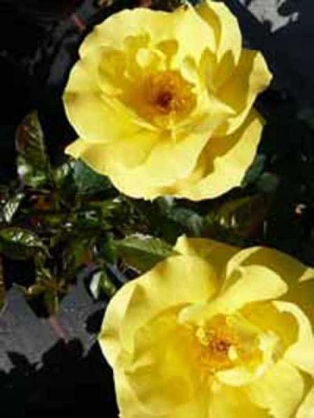 Rosa 'Bayerngold ®' / Beetrose 'Bayerngold'