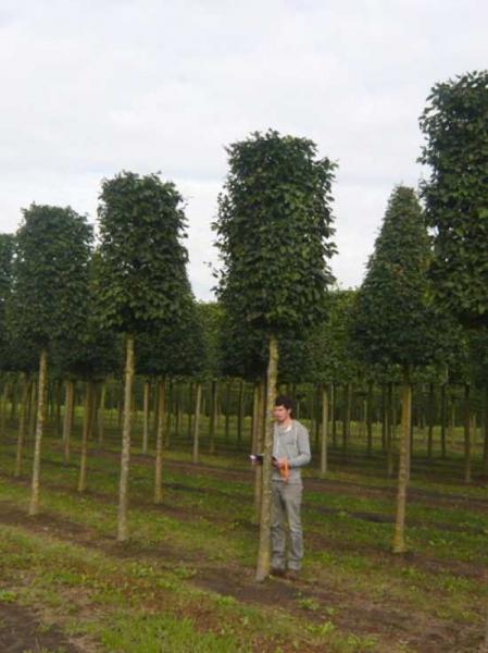 Carpinus betulus 'Purpurea' 'Kubus' / Purpur-Buche 'Kubus' H:200 B:100 T:100 (Stamm 250 cm)