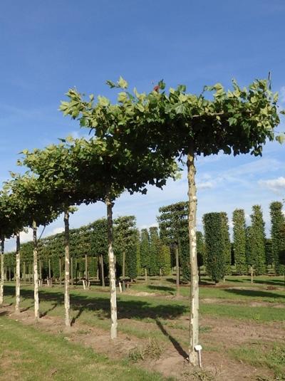Platanus acerifolia 'Dachform/Sternform' / 'Dachspalier'  / Dach-Platane (Stamm 330 cm)