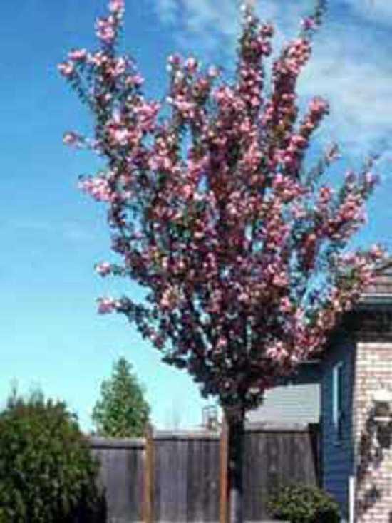 Zwergblutpflaume 80-100cm Prunus cistena