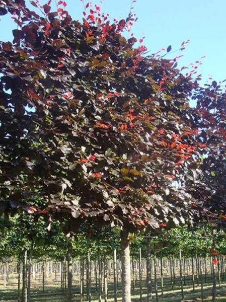 Fagus sylvatica 'Purpurea' / Blutbuche 'Hochstamm-Spalier' H:160 B:160 T:20 (Stamm 210 cm)