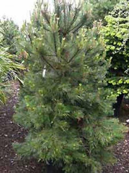 Pinus nigra ssp. nigra  / Österreichische Schwarz-Kiefer