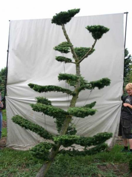 Larix decidua H: 320 cm B: 180 cm / Garten-Bonsai (801124)