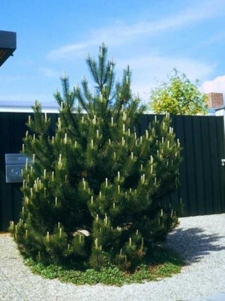 Pinus Mugo Berg Kiefer Günstig Kaufen