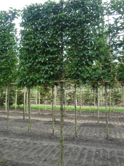 Carpinus betulus 'Lucas' / Hainbuche 'Lucas' / 'Hochstamm-Spalier' H:160 B:160 T:20 (Stamm 170 cm)