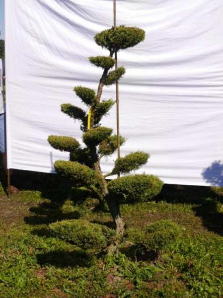 Juniperus media 'Hetzii' H: 180 cm B: 110 cm / Garten-Bonsai (301570)
