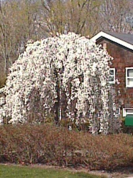 Prunus 'Snow Fountains' / Hänge-Kirsche 'Snow Fountains'