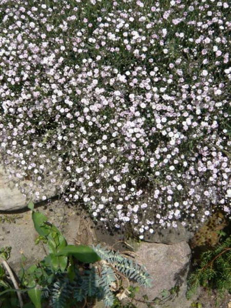 Gypsophila 'Rosenschleier' / Kriechendes Garten-Schleierkraut