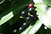 Prunus-rotundifolia-Frucht
