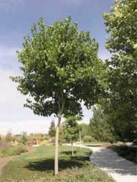 Morus alba 'Fruitless' / Weißer Maulbeerbaum 'Fruitless'