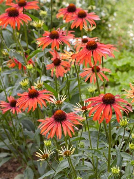 Echinacea purpurea 'Hot Summer ®' / Sonnenhut