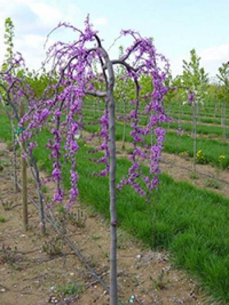 cercis canadensis 39 lavender twist 39 h nge judasbaum 39 lavender twist 39 g nstig bestellen. Black Bedroom Furniture Sets. Home Design Ideas