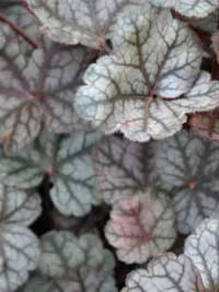 Heuchera 'Pewter Veil' / Garten-Purpurglöckchen