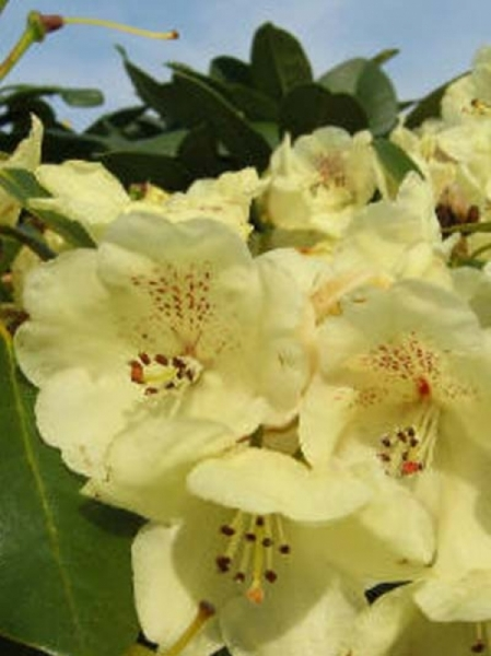 Rhododendron Hybride 'Graf Lennart' / Rhododendron 'Graf Lennart'