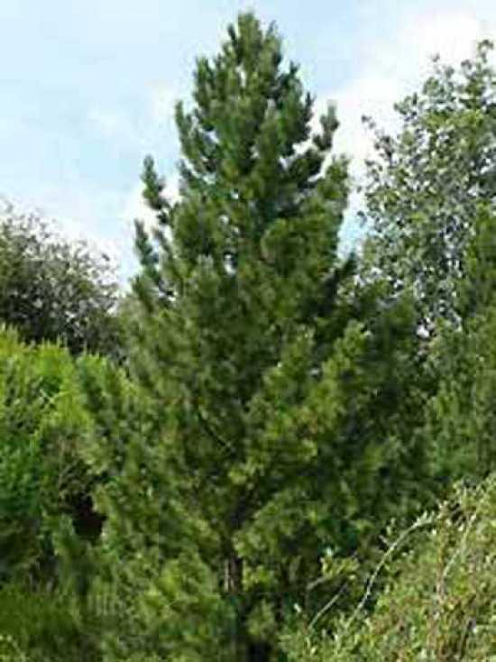Pinus cembra zirbel kiefer arve g nstig kaufen - Kiefer baum kaufen ...