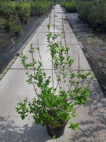 Abeliophyllum distichum / Schneeforsythie / Weiße Forsythie