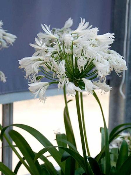 Agapanthus africanus 'White Heaven' / Schmucklilie 'White Heaven'