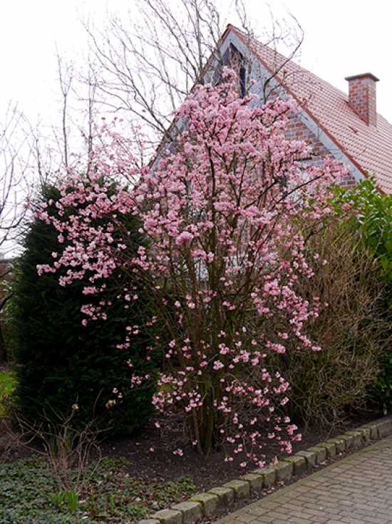 viburnum bodnantense 39 charles lamont 39 bodnant schneeball 39 charles lamont 39 winter schneeball. Black Bedroom Furniture Sets. Home Design Ideas