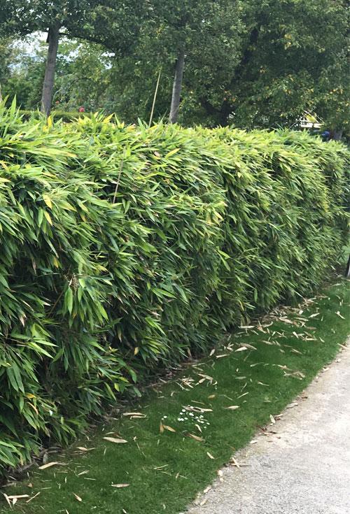 Bambus Fargesia Black Pearl