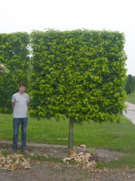 Liquidambar styraciflua 'Worplesdon' / Amberbaum 'Halbstamm-Spalier' H:210 B:220 T:20 (Stamm 100 cm)