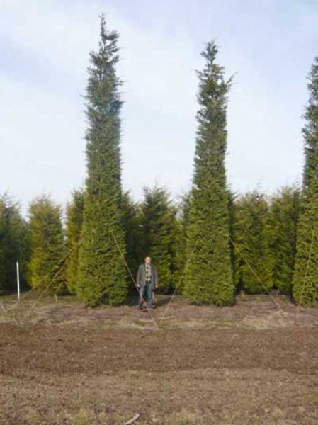 Cupressocyparis leylandii / grüne Bastardzypresse 800-900 cm Solitär  mit Drahtballierung