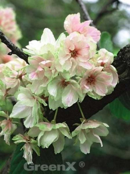 Prunus serrulata 'Ukon' / Japanische Zierkirsche 'Ukon'