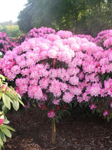 Rhododendron yakushimanum 'Polaris' auf Stamm / Rhododendron 'Polaris' auf Stamm