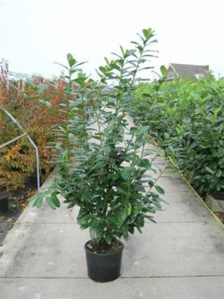 Prunus laurocerasus 'Novita' / Kirschlorbeer 'Novita' 150-175 cm im 25-Liter Container