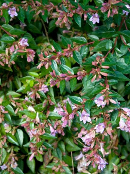 Abelia grandiflora 'Sherwood' / Großblumige Abelie 'Sherwood'
