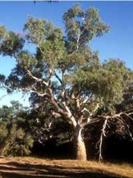 Eucalyptus rostrata / Eucalyptus camaldulensis / Roter Eukalyptus / Camaldoli