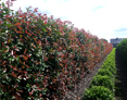 photinia-red-robin-hecke-kl