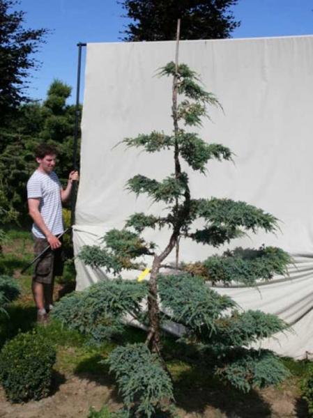 Juniperus squamata 'Blue Carpet' H: 230 cm B: 150 cm / Garten-Bonsai (306135)