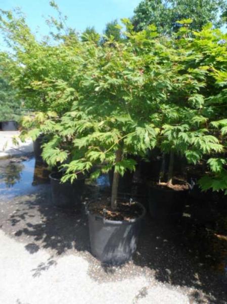 Acer japonicum 'Aconitifolium' auf Stamm / Eisenhutblättriger Ahorn
