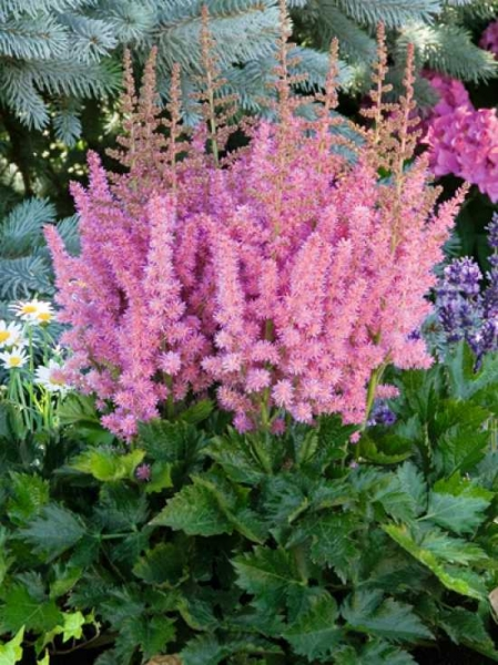 Astilbe chinensis 'Visions in Pink ' / Beet-Prachtspiere