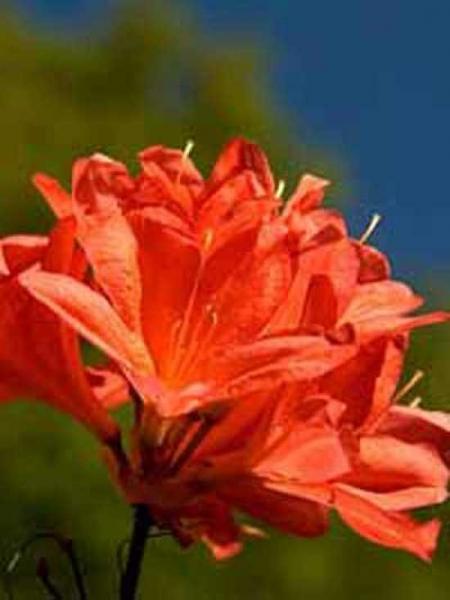 Azalea luteum 'Fanal' (Knap-Hill) / Laubabwerfende Azalee 'Fanal'