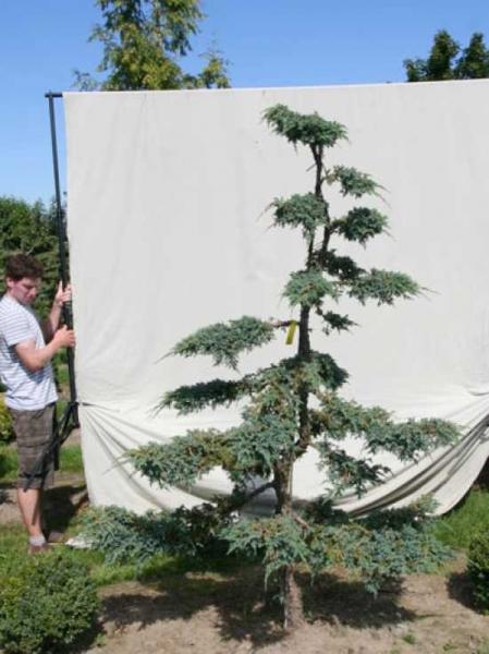 Juniperus squamata 'Blue Carpet' H: 220 cm B: 160 cm / Garten-Bonsai (306130)