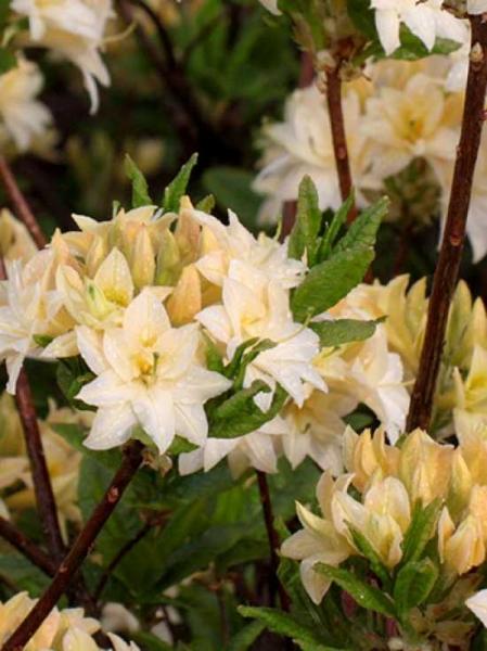 Azalea rustica 'Byron' / Laubabwerfende Azalee 'Byron'