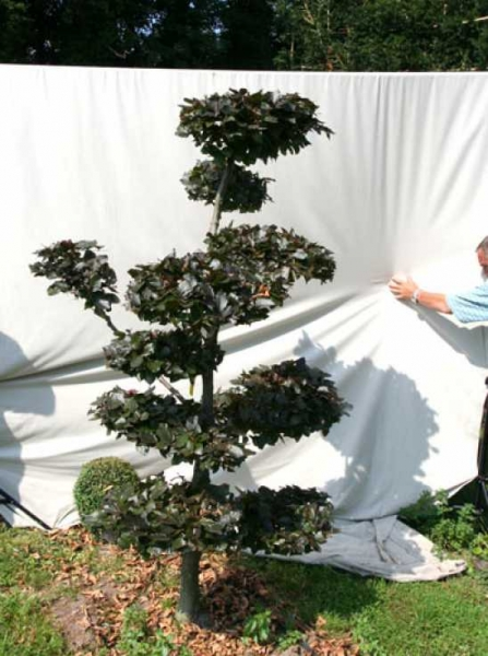 Fagus sylvatica 'Purpurea' H: 220 cm B: 130 cm / Garten-Bonsai (701113)