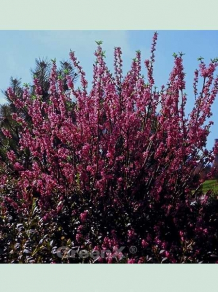 Daphne mezereum 'Rubra' / Roter Märzenseidelbast