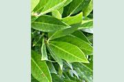 Prunus_Otto_Luyken