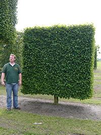 Bodenspalier Stamm bis 50 cm