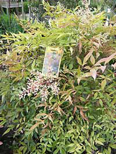 Nandina Domestica Obsessed Heiliger Bambus Obsessed