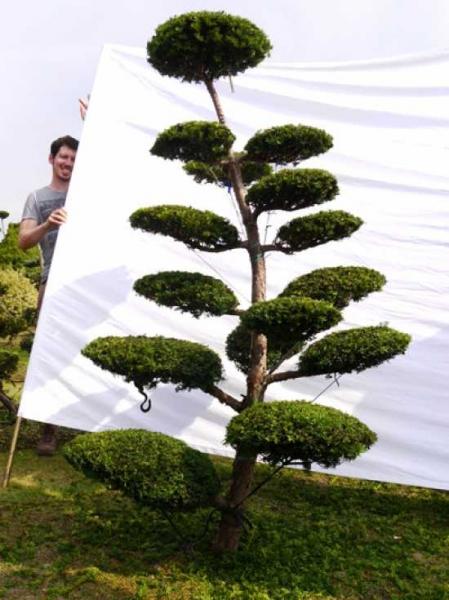 Taxus media 'Hillii' H: 220 cm B: 130 cm / Garten-Bonsai (0094)