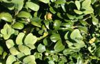 buxus_rotundifolia1_kl